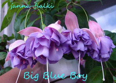 фуксия big blue boy фото