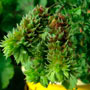Fir Trees Catkins