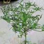 Filicifolium