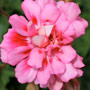 Unicorn Zonartic Rose